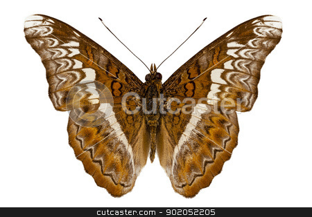 Admiral limenites butterfly stock photo, Admiral limenites butterfly isolated on white background by paulrommer
