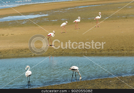 Groupe of flamingos stock photo, Groupe of flamingos at a lake in South Africa by Lacroix