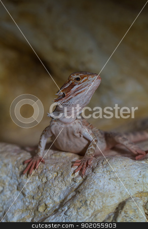 Bearded dragons stock photo, Bearded dragons Red Leatherback (Pogona vitticeps) by Jozsef Demeter