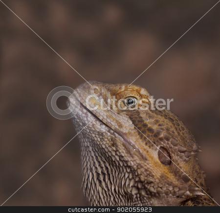 Close-up of Bearded dragons eye (Pogona vitticeps) stock photo, Close-up of Bearded dragons eye (Pogona vitticeps) by Jozsef Demeter