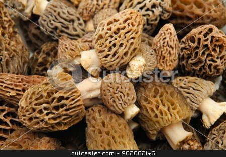 Morel Mushroom Background stock photo, Morel's are distinctive mushrooms and appear honeycomb-like in that the upper portion is composed of a network of ridges with pits between them. The ascocarps are prized by gourmet cooks, particularly for French cuisine. by Lynn Bendickson