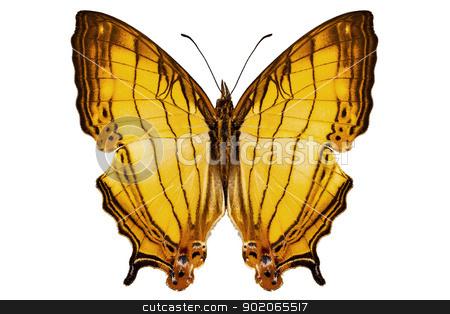 Butterfly species Cyrestis lutea
