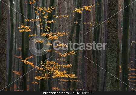 Hornbeam tree in forest. stock photo, Hornbeam tree with golden autumn leaves in the forest. by Piotr Skubisz