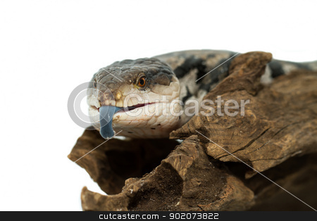 Blue tongued skink  stock photo, Blue tongued skink on white background (Tiliqua scincoides scincoides) by Jozsef Demeter