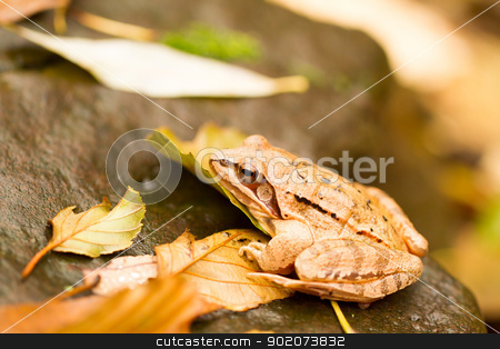 Close-up from a yellow frog stock photo, Close-up from a yellow frog by Jozsef Demeter