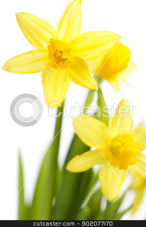 Daffodils stock photo, Beautiful daffodils on white background by klenova