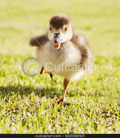 Duckling in the run stock photo, Duckling running through grass park by Stephen Laurence