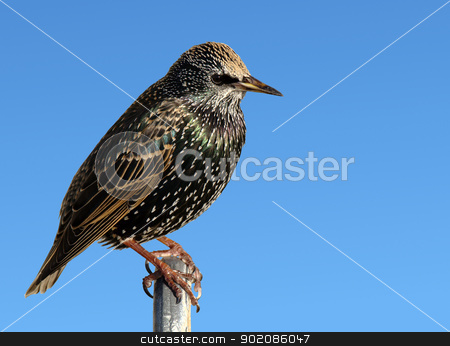 A perched starling bird close up. stock photo, A perched starling bird close up. by Stephen Rees