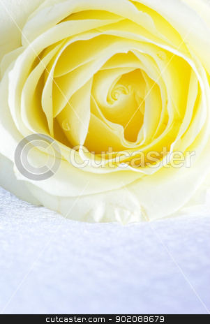 white rose stock photo, A white rose is isolated on a silver background by Vitaliy Pakhnyushchyy
