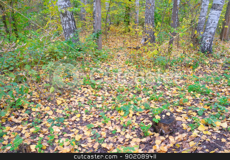 In autumn forest stock photo, In autumn forest. Birch grove with yellow leaves. by Sergei Devyatkin