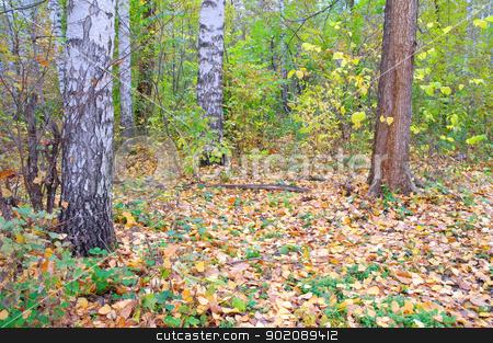 In autumn birch forest. stock photo, In autumn forest. Birch grove with yellow leaves. by Sergei Devyatkin