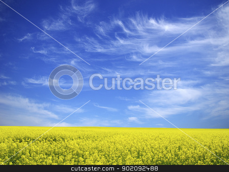 rape field stock photo,  Rape field and clouds in sky by Vitaliy Pakhnyushchyy