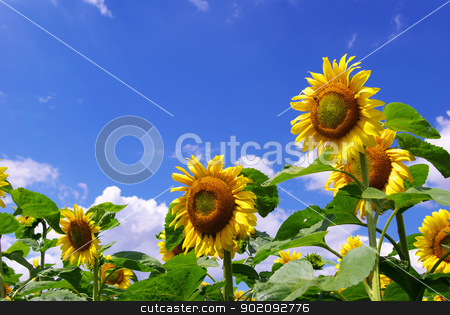 sunflower stock photo, sunflower field over cloudy blue sky by Vitaliy Pakhnyushchyy