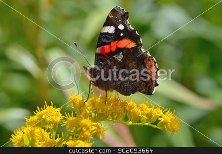 Beautiful butterfly(Vanessa atalanta) stock photo, Beautiful butterfly(Vanessa atalanta) sitting on a yellow flower by Nikolay