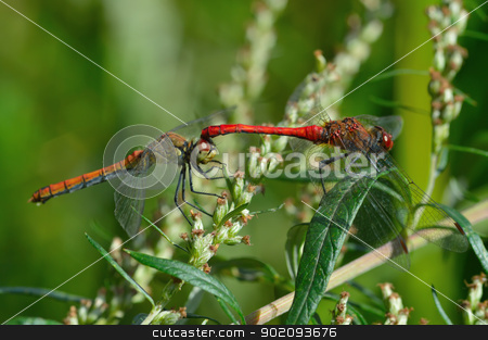 Two beautiful dragonfly stock photo, Two beautiful dragonfly sitting on a plant by Nikolay