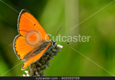Butterfly colias croceus stock photo, Butterfly (Colias tsrotseus) sitting on a flower by Nikolay
