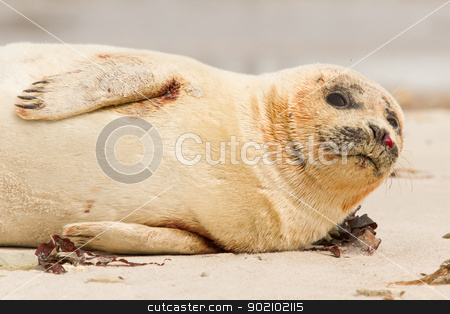 A common seal stock photo, A common seal is resting on the beach by michaklootwijk