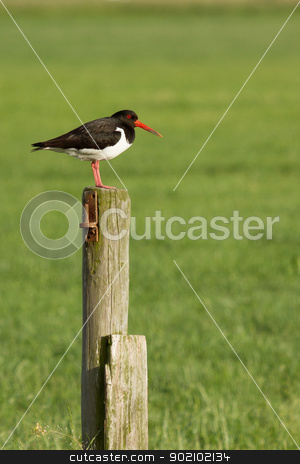An oystercatcher on a pole stock photo, An oystercatcher on a pole in Holland by michaklootwijk