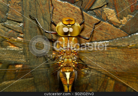 A close-up of a dragonfly stock photo, A close-up of a dragonfly with a wooden background by michaklootwijk