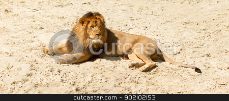 Lion resting stock photo, Lion resting in the sand by michaklootwijk