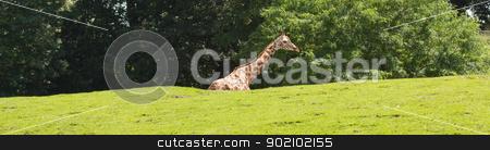 A giraffe in a dutch zoo  stock photo, A giraffe in a dutch zoo (Emmen) by michaklootwijk