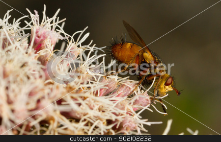 A fly is sitting stock photo, A fly is sitting on pink flowers by michaklootwijk