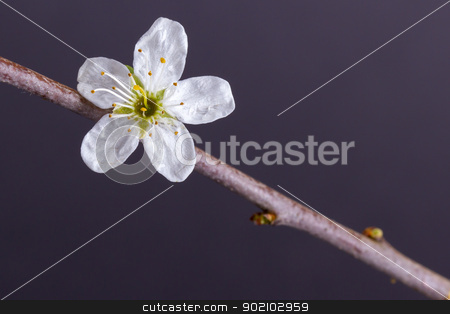 Flower in a tree stock photo, Flower in a tree on a grey background (spring) by michaklootwijk