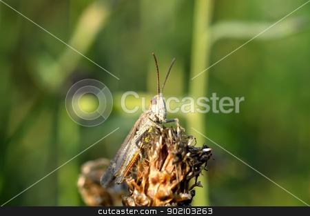 Gray grasshopper stock photo, Gray grasshopper sitting on a plant by Nikolay