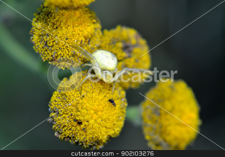 Crab spider(Thomisoidea) stock photo, Crab spider(Thomisoidea) at the time of attack by Nikolay