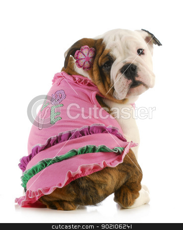 puppy love stock photo, puppy love - english bulldog wearing pink shirt that says love on white background by John McAllister