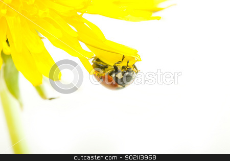 ladybug  stock photo, red ladybug on green grass isolated by Vitaliy Pakhnyushchyy