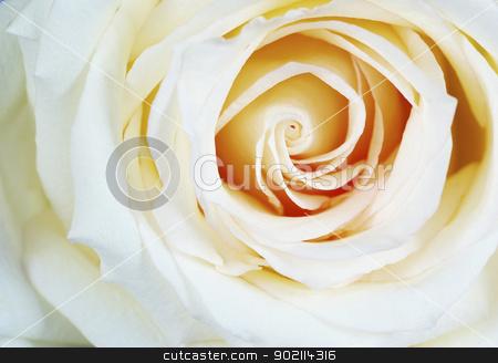 white rose stock photo, a close-up of a white rose by Vitaliy Pakhnyushchyy
