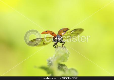 red ladybug  stock photo, red ladybug on green grass isolated on white by Vitaliy Pakhnyushchyy