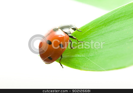 ladybug  stock photo, red ladybug on green grass isolated on white by Vitaliy Pakhnyushchyy