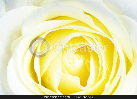 white roses stock photo, Close-up shot of a white roses by Vitaliy Pakhnyushchyy