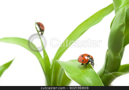 ladybug stock photo, red ladybug on green grass isolated by Vitaliy Pakhnyushchyy