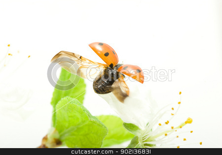red ladybug stock photo,   red ladybug on green grass isolated by Vitaliy Pakhnyushchyy