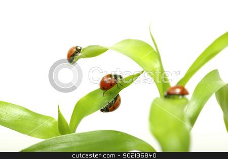 ladybug on green grass  stock photo, red ladybug on green grass isolated on white by Vitaliy Pakhnyushchyy
