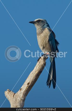 Florida Scrub-Jay (Aphelocoma coerulescens) stock photo, Florida scrub-jay perched on bare tree limb. by Glenn Price