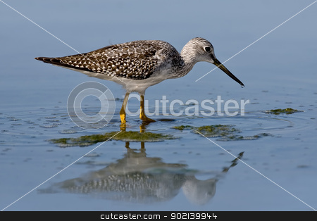 Greater Yellowlegs (Tringa melanoleuca) stock photo, Greater yellowlegs wading in shallow water with reflection. by Glenn Price