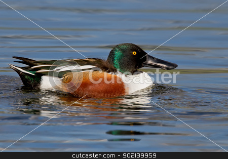 Northern Shoveler (Anas clypeata) stock photo, adult northern shoveler drake swimming. by Glenn Price