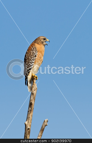 Red-shouldered Hawk (Buteo Lineatus) stock photo, Adult red-shouldered hawk calling while perched on a tree limb. by Glenn Price