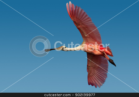 Roseate Spoonbill (Platelea ajaja) stock photo, Adult roseate spoonbill in flight against blue sky. by Glenn Price