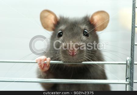 rat  stock photo, funny black rat sits in cage by Vitaliy Pakhnyushchyy