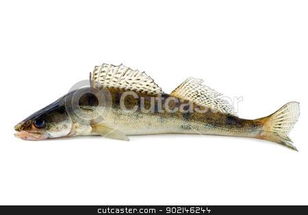 fish zander stock photo, fish zander fang isolated on white background by Vladyslav Danilin