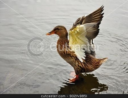 Duck stock photo, Female duck spreads its wings in a lake by Ondrej Vladyka