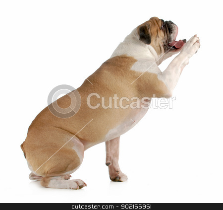 dog shake a paw stock photo, dog shake a paw - english bulldog sitting with paw held up to shake on white background by John McAllister