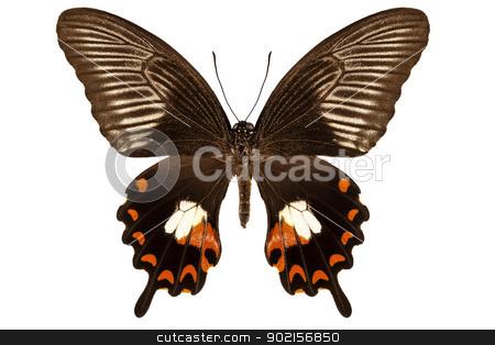 Butterfly species papilio polytes mandane