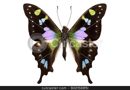 Butterfly species Graphium weiskei