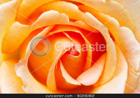 orange rose  stock photo, a close-up of a orange rose  by Vitaliy Pakhnyushchyy
